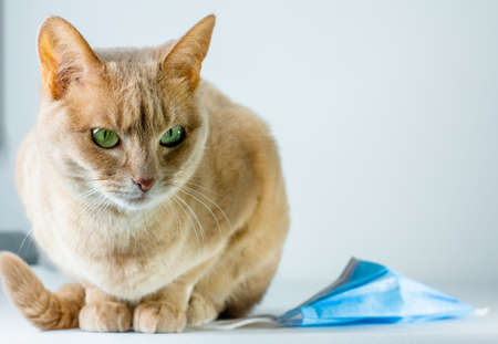 Close-up of cat sitting on a white background close to face protection mask. Pets virus ad mockup. Animals COVID vaccine.