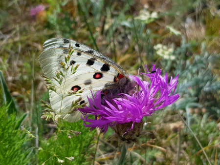Apollo Butterfly or Mountain Apollo, sitting on the pink flower. Beautiful insect with pink flower.