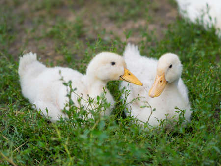 two little cute duckling in the green grass. 写真素材
