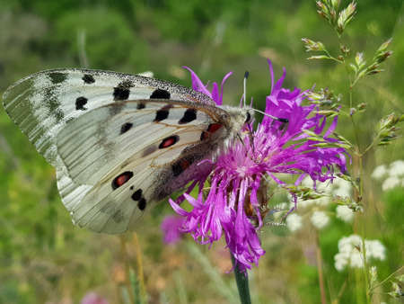 Summer scene. Apollo Butterfly or Mountain Apollo, sitting on the pink flower in the nature. Beautiful insect with pink flower.