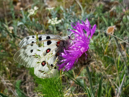 Apollo Butterfly or Mountain Apollo, sitting on the pink flower on the meadow. Beautiful insect with pink flower.