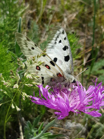 Apollo Butterfly or Mountain Apollo, scene from the meadow. Beautiful insect with pink flower.
