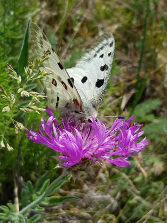 Apollo Butterfly or Mountain Apollo, sitting on the pink flower on the meadow. Beautiful insect with pink flower. Summer