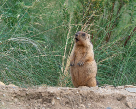 A photo of a gopher in the wild in mating season. Standard-Bild