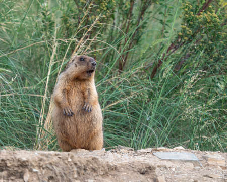 A photo of a gopher in the wild. Mating season. Standard-Bild - 150330428