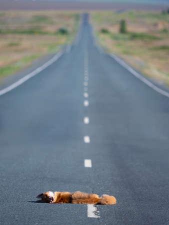 Vertical photo - a fox hit by a car.