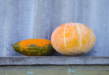 Vegetable marrow and yellow pumpkin on a wooden bench. The concept of farm and household