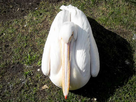 white Pelican sitting on green grass Stock Photo