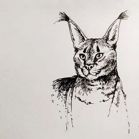 illustration of a caracal cat