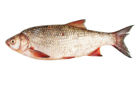 bream: river fish bream on white background isolated