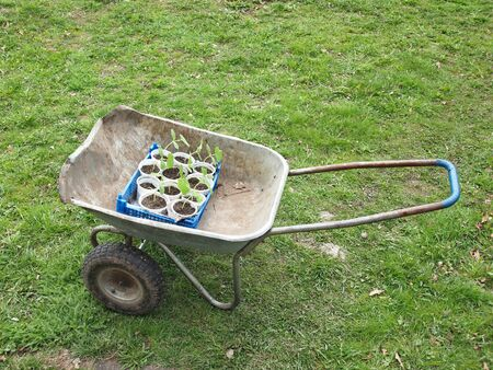 garden cart with tomato seedlings