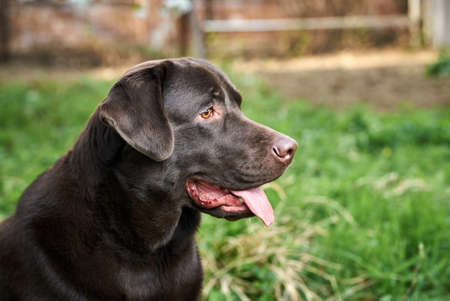 The dog looks away, the labrador with his tongue hanging out.