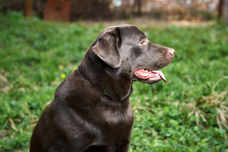 A dog labrador, a labrador sits on the grass and stuck out his tongue.