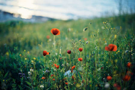 poppies, flowers, nature, field, atmosphere.