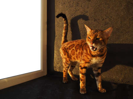 The Bengal cat shows its tongue, licks, and displays feline emotions. Advertising with animals, empty space for insertion.