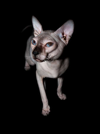 Bald, naked Donskoy or Canadian Sphinx. Domestic gray purebred cat without fur and undercoat poses. Vertical photo in the studio isolated on a black background.