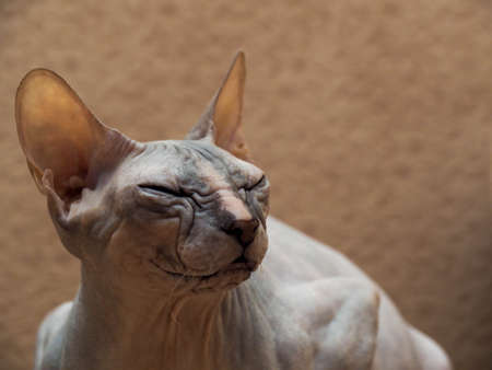 Bald, naked Don or Canadian Sphinx. Portrait of a gray domestic purebred cat, wrinkled muzzle close-up. Emotions of anger and contempt.