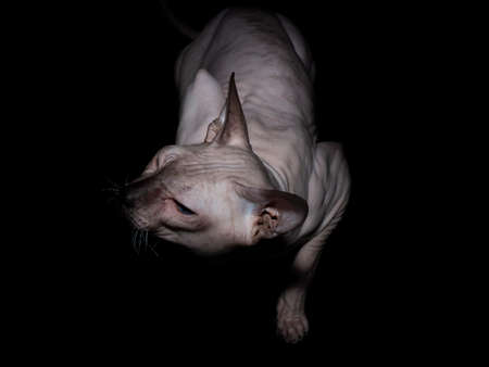 Bald, naked Donskoy or Canadian Sphinx. Domestic gray purebred cat without fur and undercoat poses. Horizontal photo in the studio isolated on a black background. Stock Photo