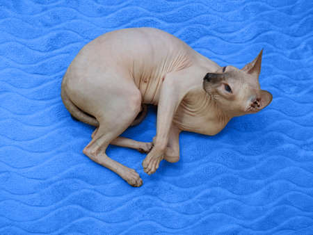 Donskoy cat or canadian Sphinx in a playful mood, relaxes and plays. The concept of a smart, active and gentle pet.