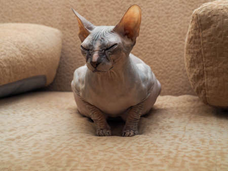 Bald, naked, thoroughbred Donskoy Sphinx of gray color. A pregnant Canadian sphinx. The concept of veterinary care for cat, reception and preparation for childbirth. Stock Photo