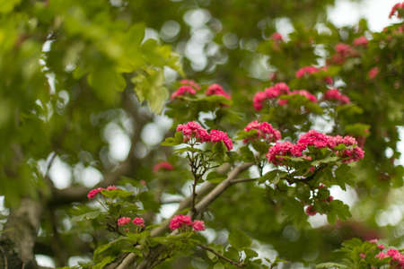 Decorative hawthorn