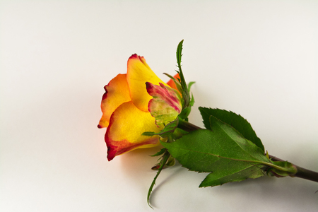 Beautiful Reddish yellow rose isolated on white.