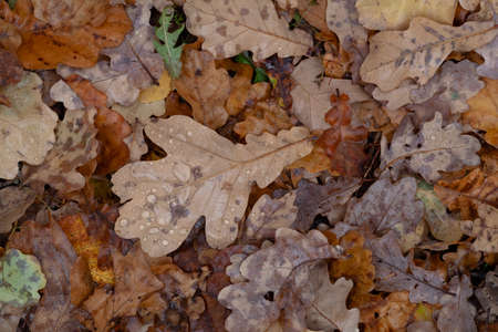 Discolored faded wet oak fallen leaves on the ground in cloudy october's day. Big oak leave with drops of water in the center. Background, closeup Stock Photo