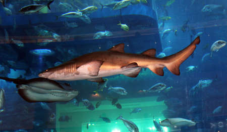 Shark swimming in a large aquarium with other fish. Beautiful blue background.