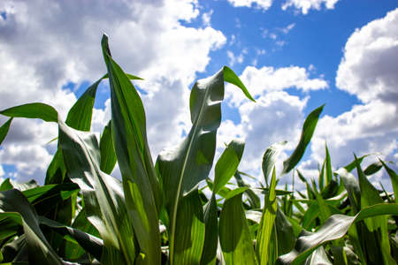 Cornfield. Corn leaves against the sky. Peaceful nature. Concept.