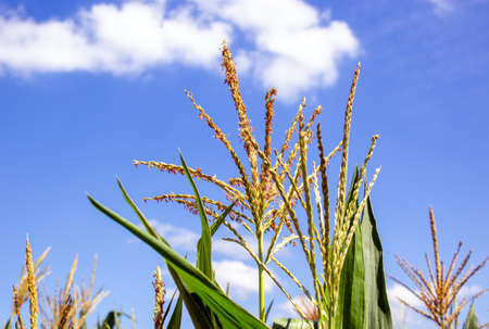 Blooming corn on the background of a corn field. Cornfield. Corn leaves against the sky. Peaceful nature. Concept. 免版税图像