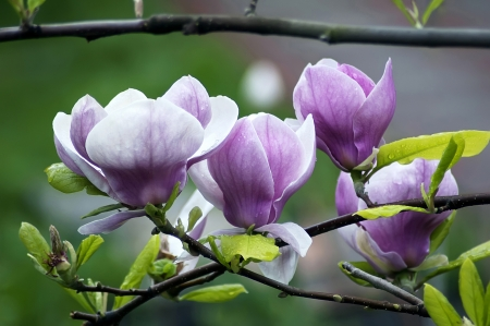 Beautiful magnolia flowers photo