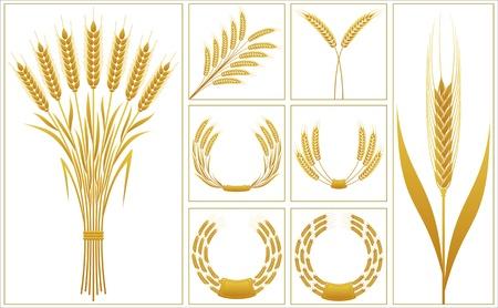espigas: Espigas de trigo