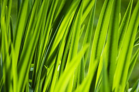 the thicket: Nature background - thicket of green grass