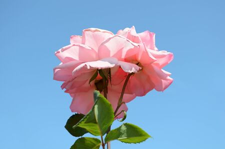 Pink rose close up, isolated over blue photo