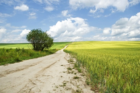 Country road going between wheat fields photo