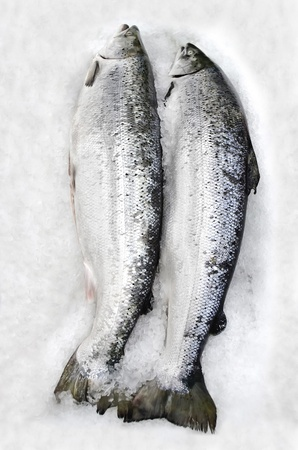 Two fresh salmons lying in the ice photo