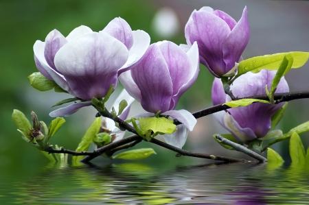Hermosas flores de magnolia