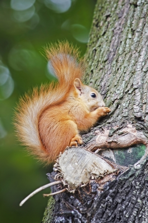 Squirrel eating on the tree Stock Photo - 15421574