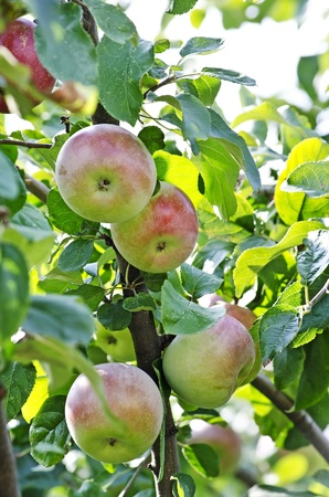 Apples on the branches of a apple-tree photo