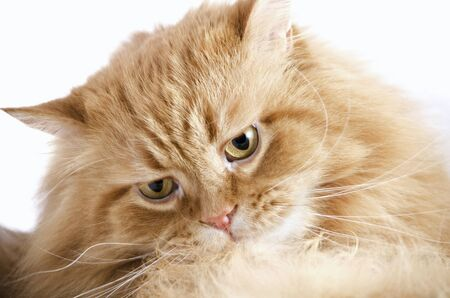 Head beautiful purebred red cat close-up, isolated over white Stock Photo - 17101801