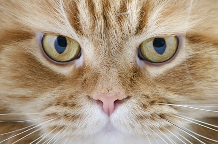 Head beautiful purebred red cat close-up, isolated over white Stock Photo - 17101803