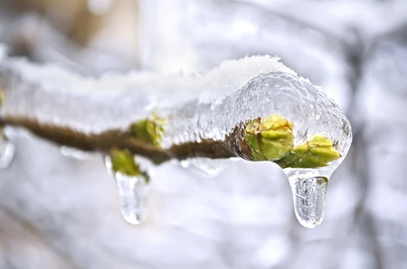 winter thaw: The buds of the tree close-up frozen in ice Stock Photo