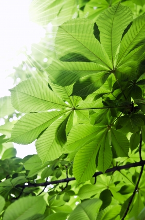 aesculus hippocastanum: Chestnut leaves on a tree close-up