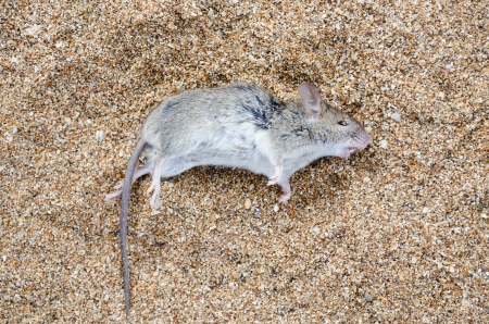 dead rat: Dead rat lying on the sea sand close-up