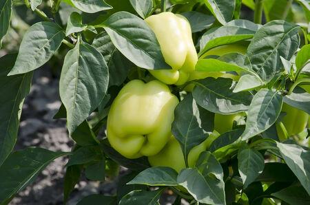 bush pepper: Green pepper hanging on a bush in the garden
