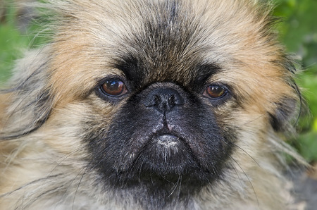 whining: The whining pekingese dogs muzzle close-up Stock Photo
