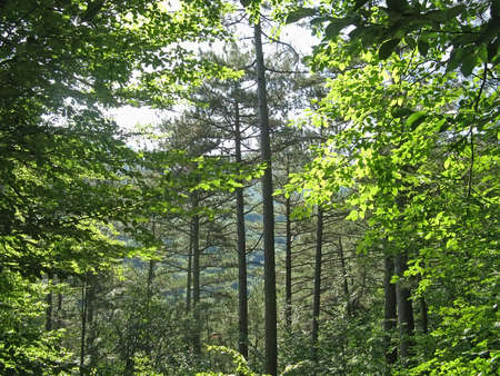 deciduous woodland: Beautiful nature background - Trees in the forest in summer