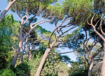 vorontsov: Beautiful natural landscape - Beautiful branched pine trees in Vorontsov Park in Crimea. Trees grow with tilt