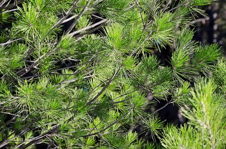 Nature background - branch of a coniferous tree with long pine needles close-up Stock Photo