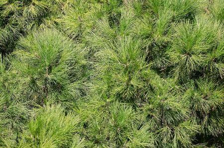 Nature background - Zweig der einem Nadelbaum mit langen Nadeln close-up